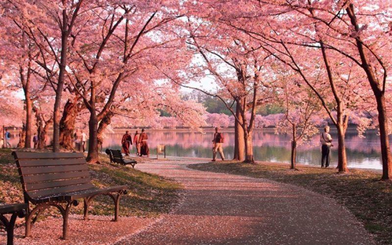 CherryBlossomPath